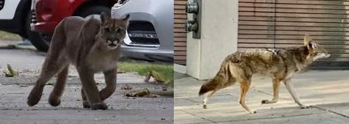 Los animales se acercan a las ciudades